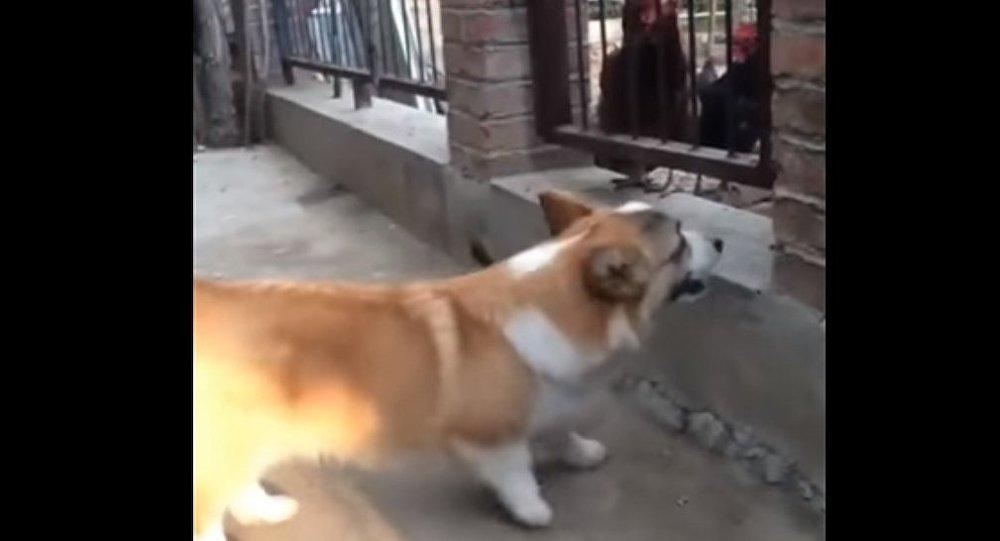 Cachorro encara galinhas na rua, mas é confrontado e pede pra sair