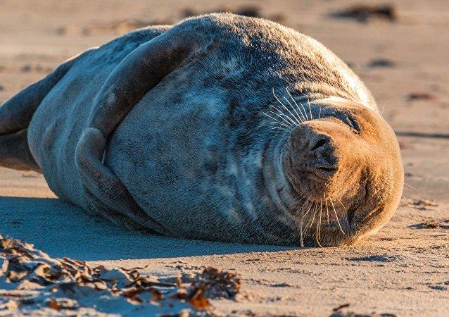 Uma foca