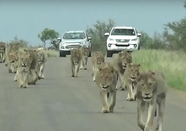 Gangue de leoas
