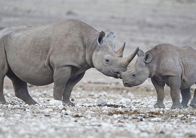 Rinocerontes-negros