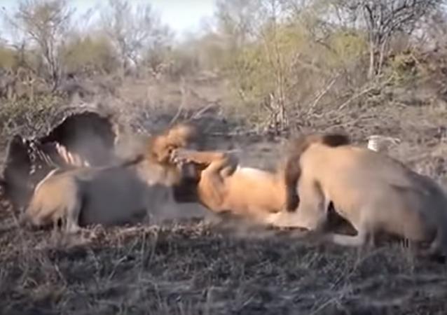 2 leões atacam leoa indefesa arrancando sua comida