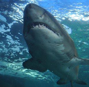 Tubarão no mar (imagem ilustrativa)