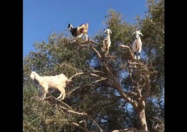 Rebanho de bodes sobre uma árvore