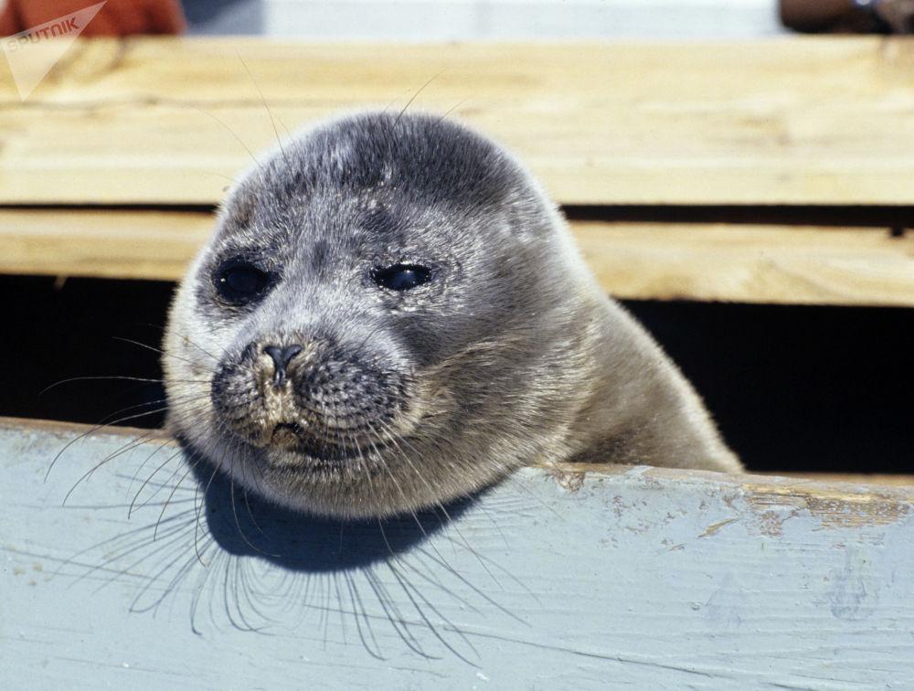 A foca do lago Baikal, que se localiza na Rússia, é a única espécie de foca do mundo que vive em água doce