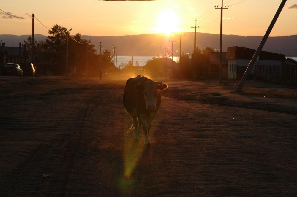 Imagem com pôr do sol ao fundo, mostra uma vaca no meio da rua principal da cidade de Khuzhir, na região russa de Irkutsk