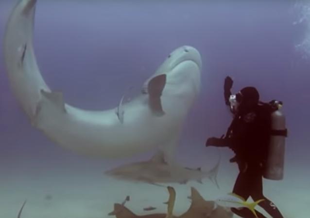 Mergulhador 'hipnotiza' tubarão e o coloca de cabeça para baixo
