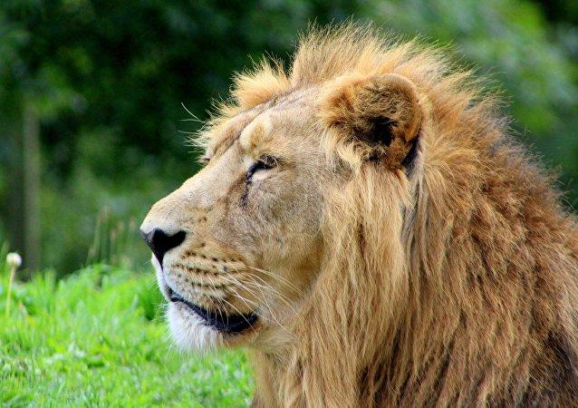 Leão (imagem referencial)