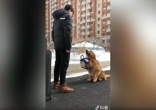 Golden Retriever faz as malas para viajar com seu humano
