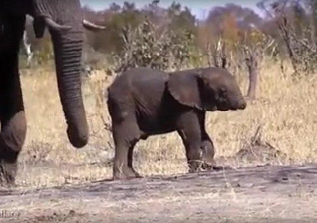 Filhote de elefante sem tromba