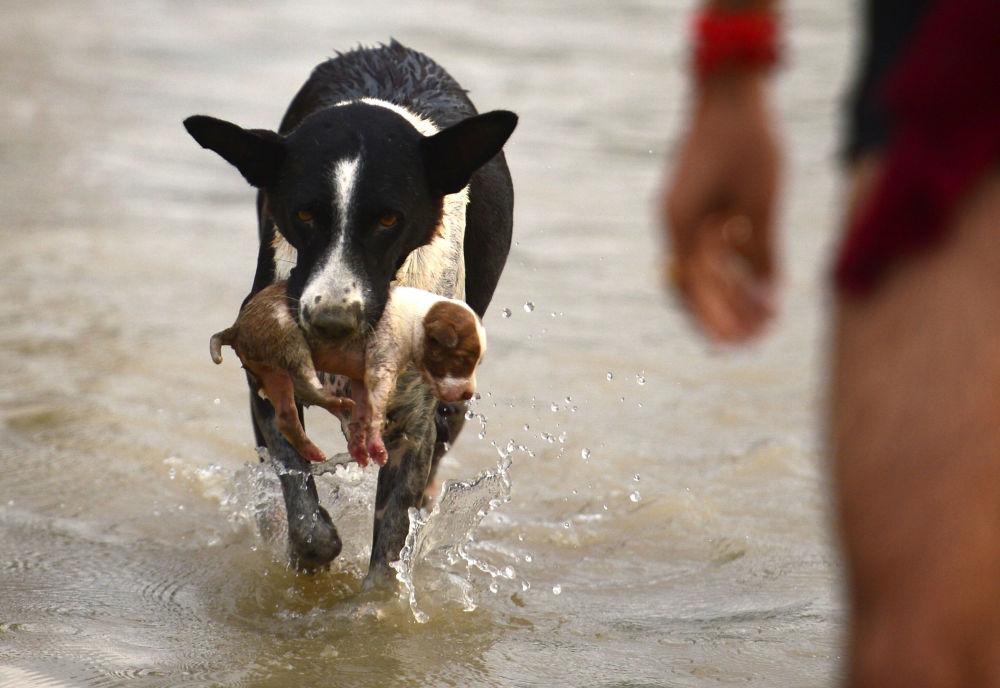 Cão carrega filhote para um local mais seco durante inundação na Índia, em 3 de setembro de 2018
