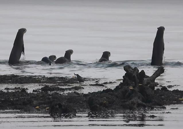 Um por todos, todos por um: grupo de lontras persegue crocodilo