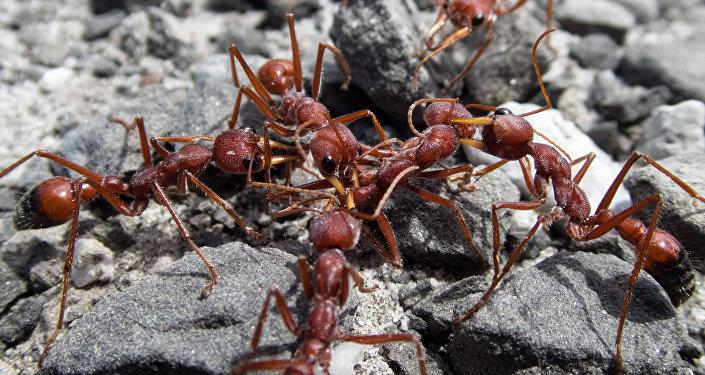 Formigas-de-fogo (imagem referencial)