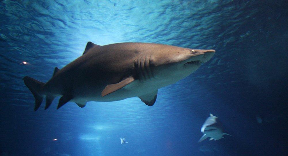 Tubarão-branco (imagem ilustrativa)