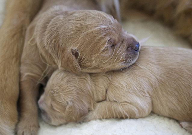 Filhotes de cachorro (imagem referencial)