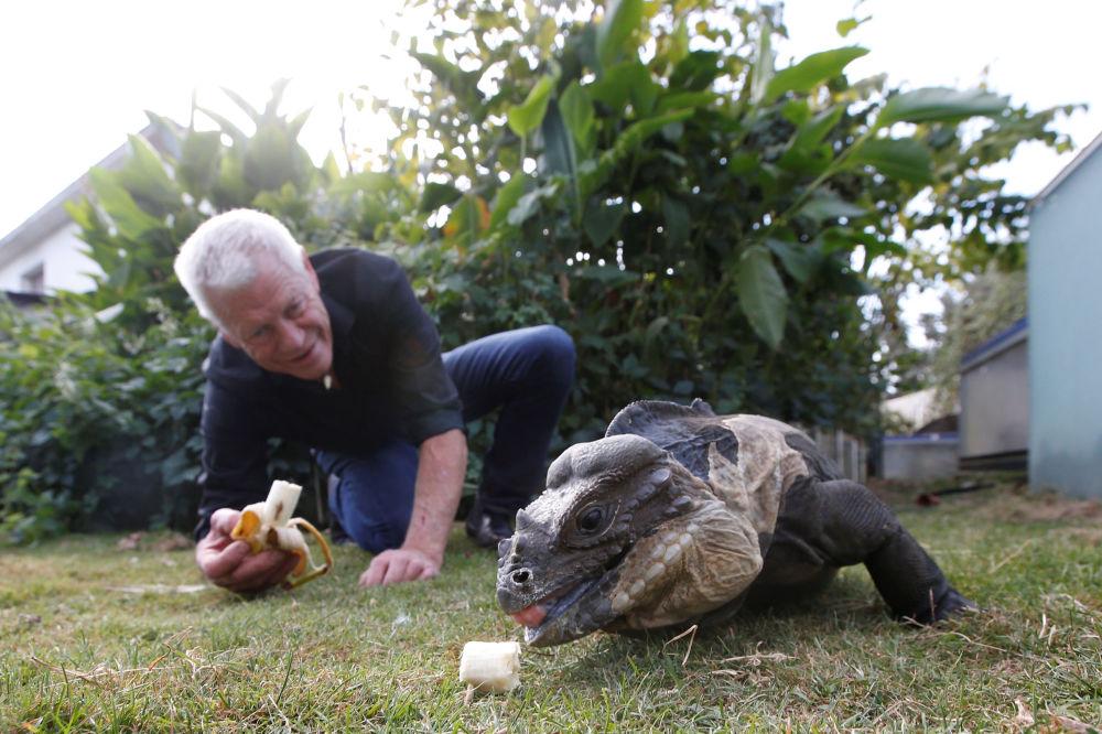 Francês Philippe Gillet, de 67 anos, alimentando iguana com uma banana no jardim de sua casa na cidade de Nantes, na França, em 19 de setembro de 2018