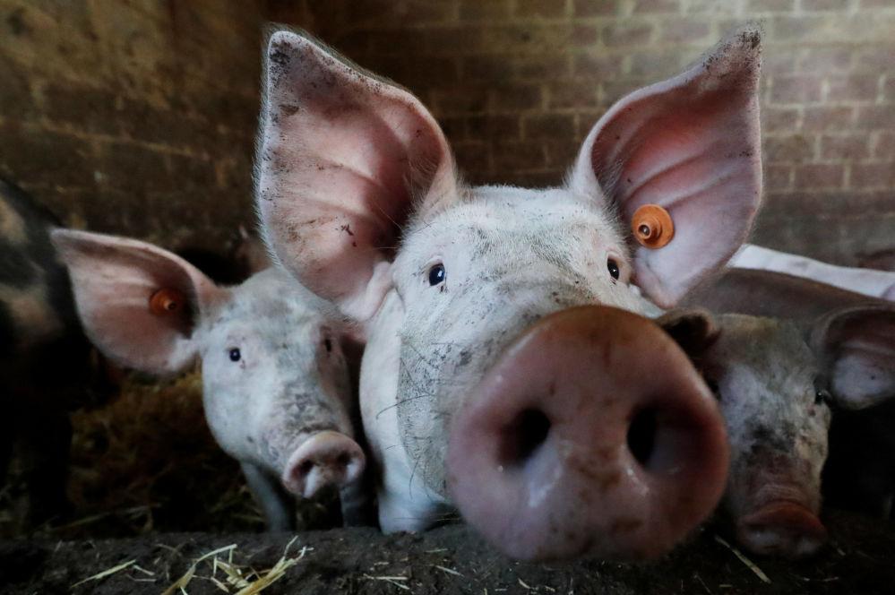 Porcos em uma fazenda perto de Bruxelas