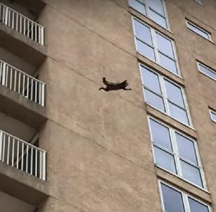 'Mais duro na história': guaxinim 'ninja' salta de 9º andar e sobrevive