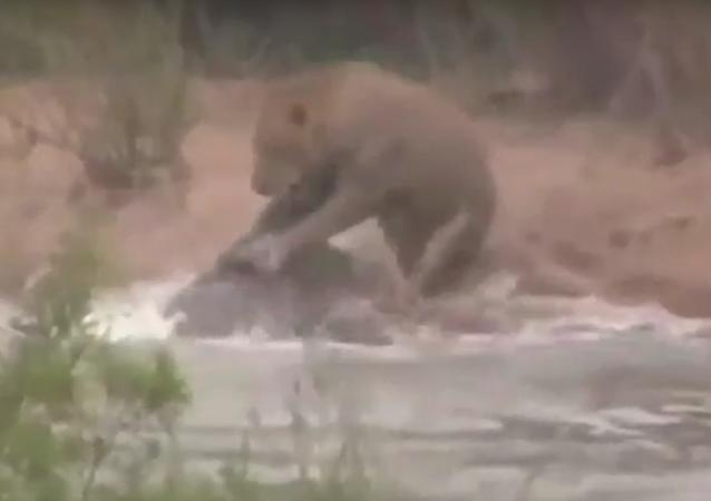 Leoa ao atravessar rio depara-se com surpresa de dentes afiados