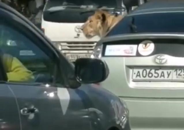 Russa filma de perto uma leoa bem relaxada em outro carro