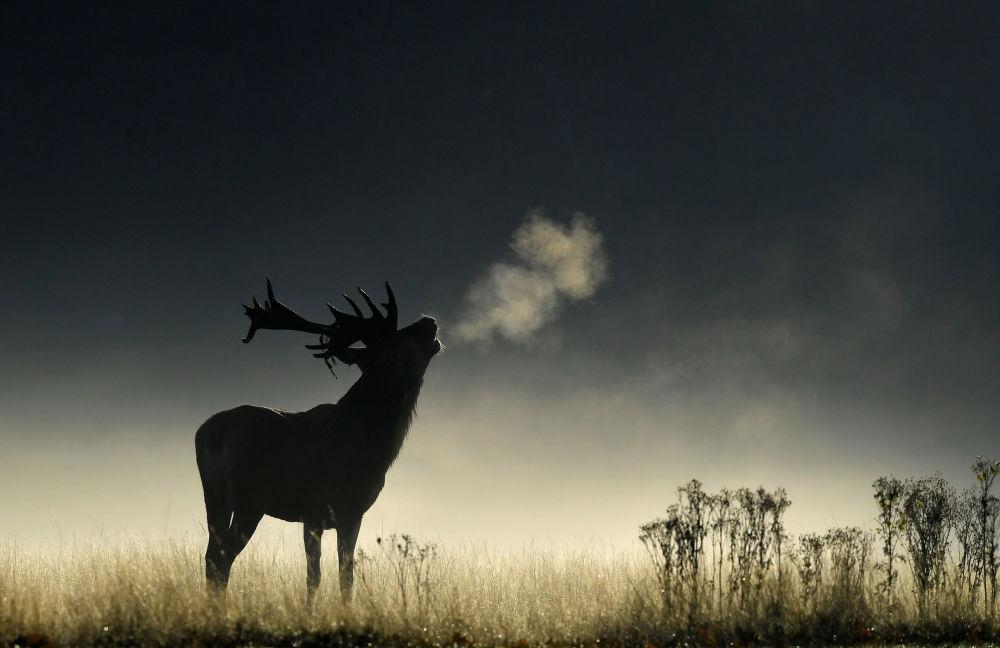 Um cervo bramindo ao amanhecer durante a época de cio em Richmond Park, Londres, Reino Unido.