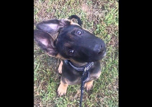 Cachorrinho da polícia reage a assovio