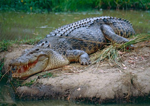 Crocodilo-de-água-salgada na ilha de Ramree, Myanmar