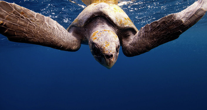 Tartaruga (imagem referencial)