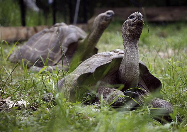 Tartarugas-gigante-das-galápagos passeiam pelo cativeiro do zoológico de Pittsburgh, EUA, em 22 de maio de 2014