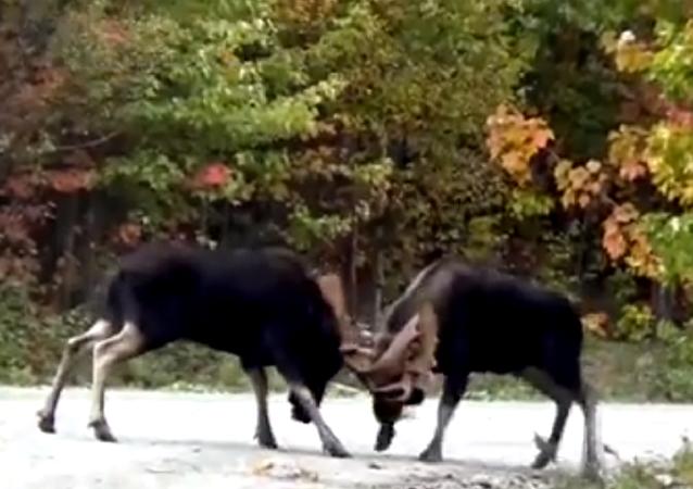 2 alces travam incrível luta com chifradas no Canadá