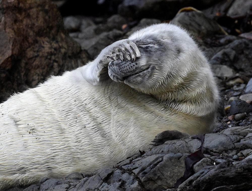 Foca-comum descansa em rochas de Pembrokeshire, no País de Gales