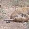 Leopardo sufoca outro até a morte em combate violento