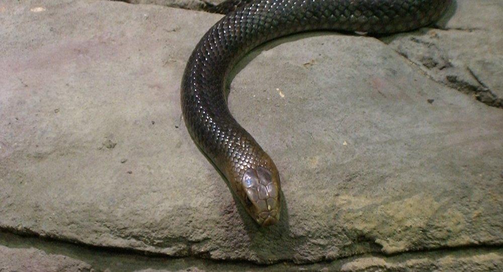 Uma cobra-marrom