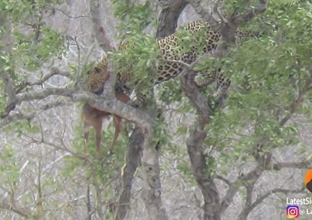 Leopardo com uma presa sobre a árvore