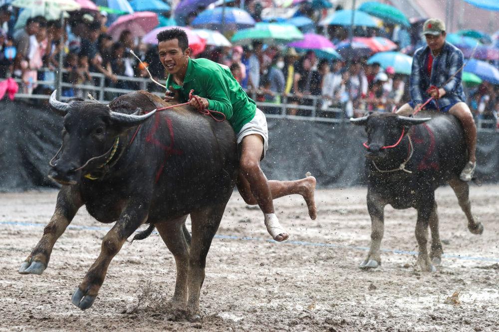 Participantes do festival anual de bisões em Chonburi, Tailândia