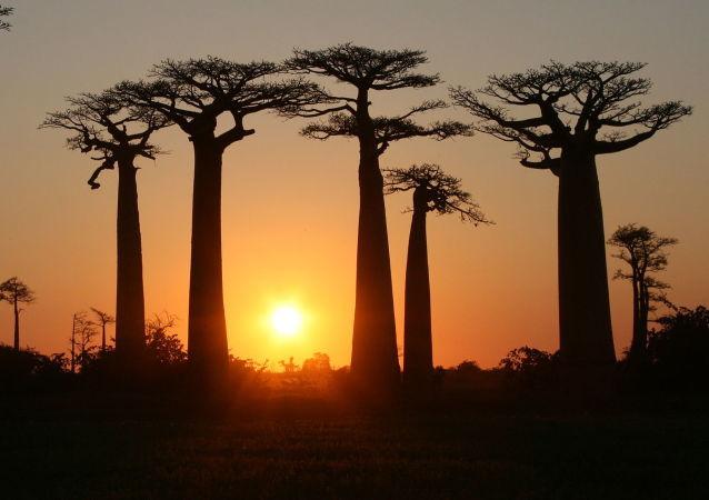 Avenida dos Baobás em Madagascar. A flora e fauna da ilha estão ameaçadas por incêndios frequentes, caçadores ilegais e desflorestamento