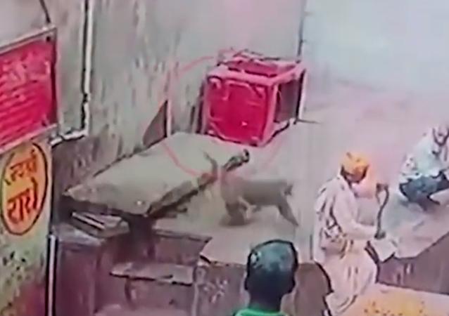 Macaco rouba cobra das mãos de encantador e sai correndo