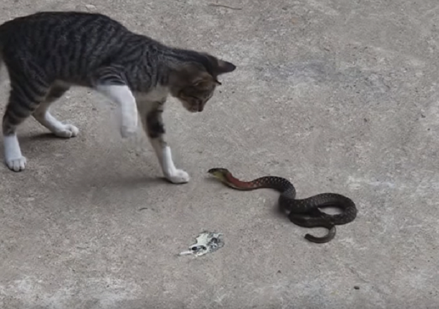 Patadas de gato tiram todas as chances de cobra que cai se fingindo de morta