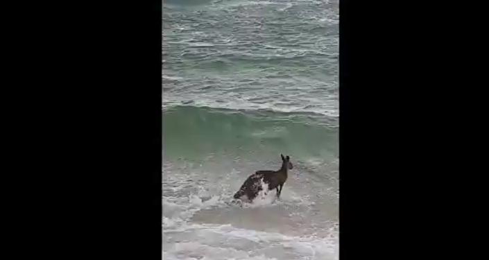 Canguru quis tomar banho de mar mas quase morreu afogado