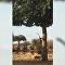 Leopardo salta em cima de antílope da árvore