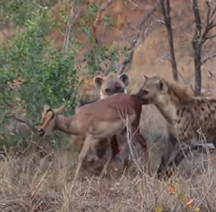Impala é caçada por chitas, roubada por hienas e comida viva