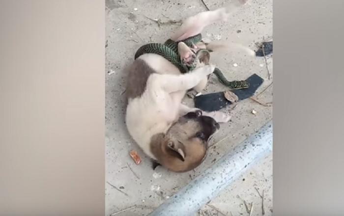 Cobra não aceita brincadeira e dá um nó no corpo de cãozinho