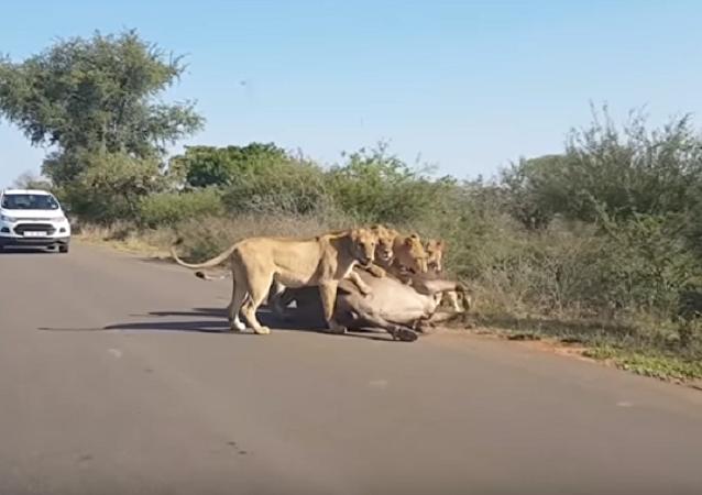 Lei da natureza: búfalo é comido vivo por grupo de leoas