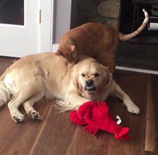 Cachorro fica bolado com carinhos de gato