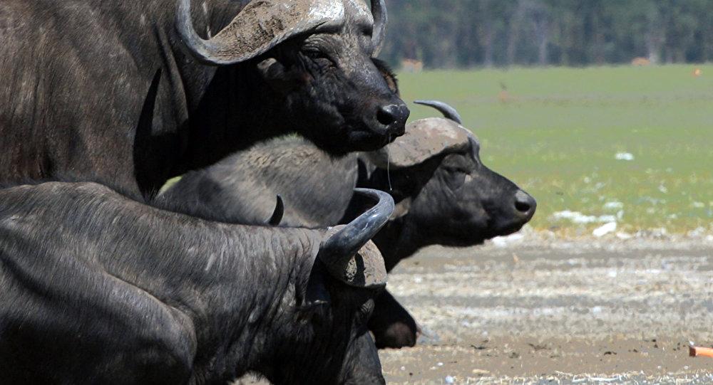 Manada de búfalos pastam em Nakuru, a 160 km de Nairobi, Quênia (foto de arquivo)