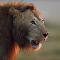 Leão luta contra manada de hienas