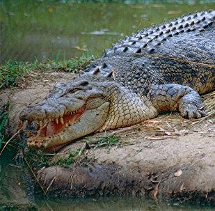 Crocodilo-de-água-salgada na ilha de Ramree, Myanmar (imagem referencial)