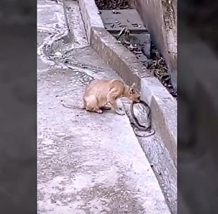 Entre patadas e mordidas: gato brincalhão testa paciência da cobra