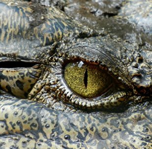 Olho de um crocodilo (imagem ilustrativa)