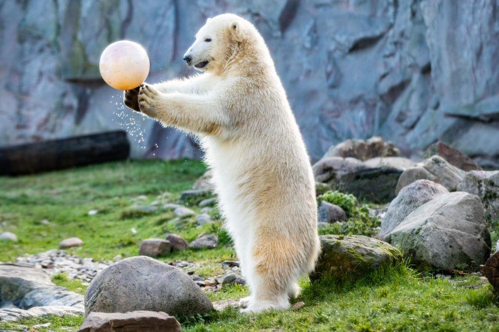 Urso-polar brinca com uma bola no jardim zoológico de Gelsenkirchen, Alemanha