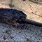 Cobra engole réptil deixando só a ponta do rabo para fora